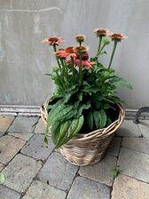 Echinacea Moodz