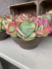Kalanchoe Thyrsiflora plantenschaal