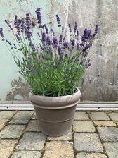 """Lavendel: Lavandula  angustifolia """"essence purple"""""""