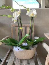 Orchidee-coupe