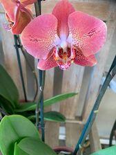 Orchidee - Herfstkleuren