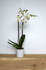 Orchidee - wit - standaard