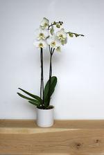 Orchidee - wit - standaard