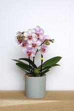 Orchidee/gekleurd/meertakker