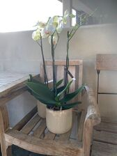 Orchidee/wit/bijoux