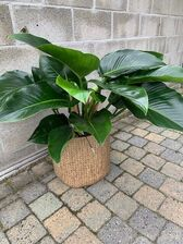 Philodendron  Green Beauty