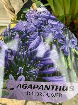 Agapanthus blauw