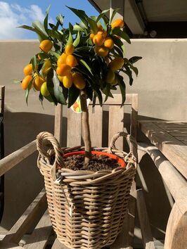 Citrus Kumquat