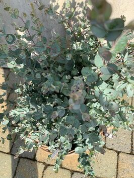 Eucalyptus Gunnii ( Gomboom)