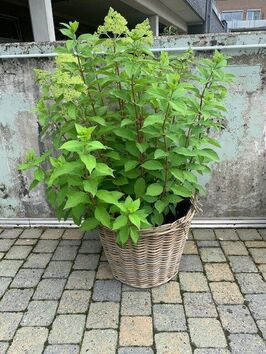 Hortensia Paniculata (pluimhortensia)