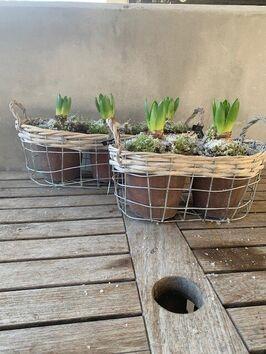 Hyacinten duo & trio