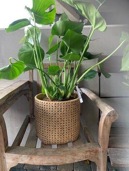 Monstera Deliciosa (gatenplant)