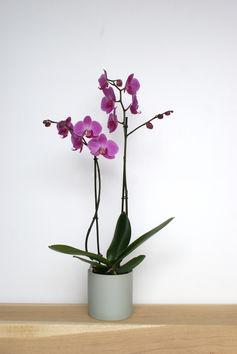Orchidee - gekleurd - standaard