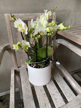 Orchidee/wit/meertakker