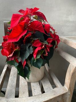 Rode Kerstster (Poinsettia)