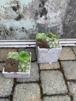 Sempervivum schaal (Huislook)