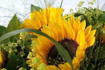 Zonnebloemen in ' t groen