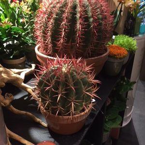 Cactussen & vetplanten